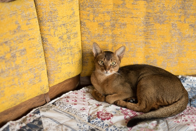 Abyssinian red cat lying on the bed