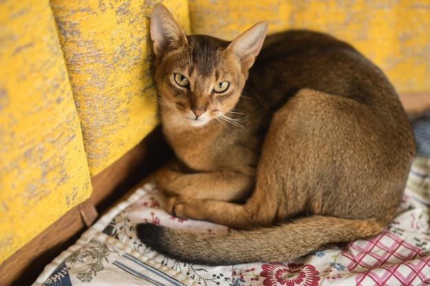 Абиссинский рыжий кот, лежа на кровати