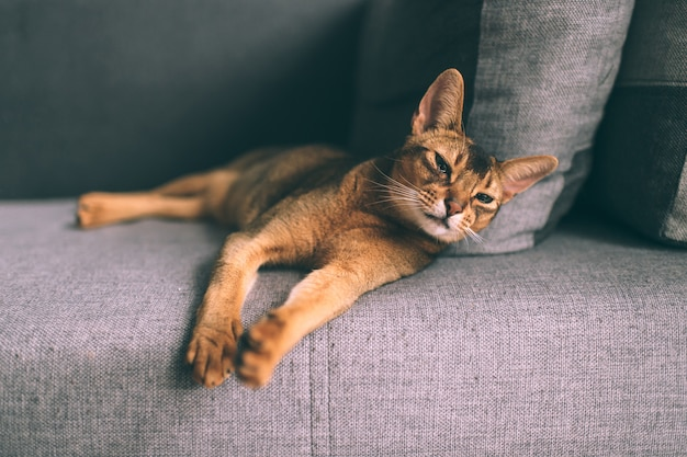 Abyssinian relaxing on sofa.
