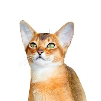 Абиссинский молодой кот, изолированные на белом фоне