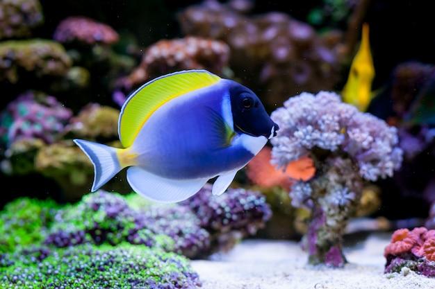 Acanthurus leucosternon in home coral reef aquarium. selective focus.