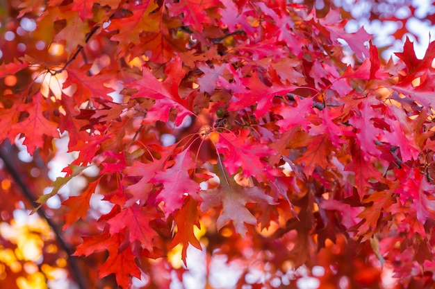 Accent on the red oak leaves. fall ruby colors. blurred lively background.