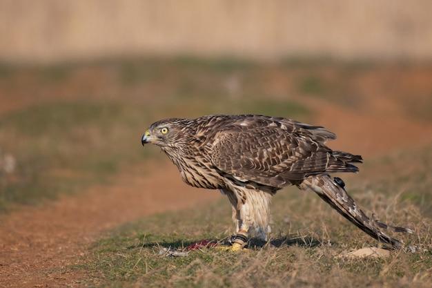 鷹狩り。テレメトリートランスミッターを備えた鷹のクローズアップの肖像画。 accipiter gentilis