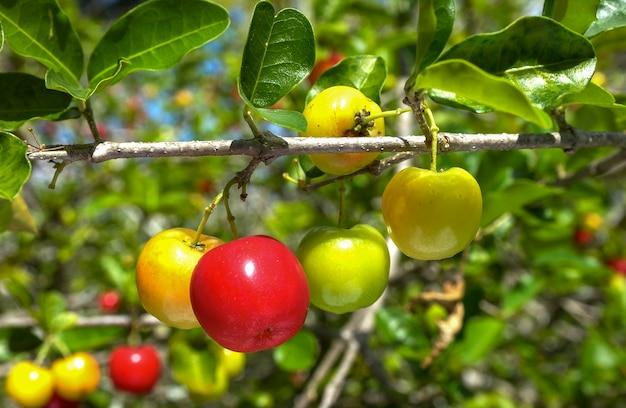 잘 익은 과일이 많은 아세로라 과일 나무.
