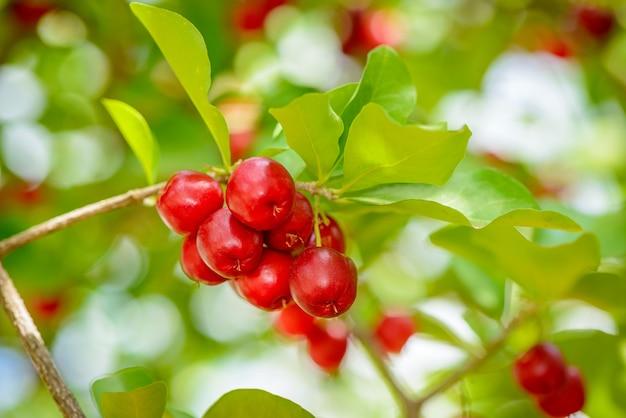 Дерево ацерола с множеством спелых плодов.