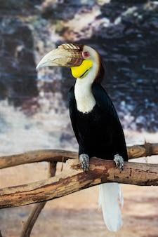 Свитер хорнбилл (aceros undulatus), бали - индонезия