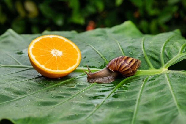 Achatina snail with a brown shell crawling next to a wet bright juicy orange in a section lying on a wet green leaf among greenery close-up