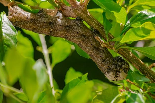 アフリカの死のスズメガの幼虫、(acherontia atropos)