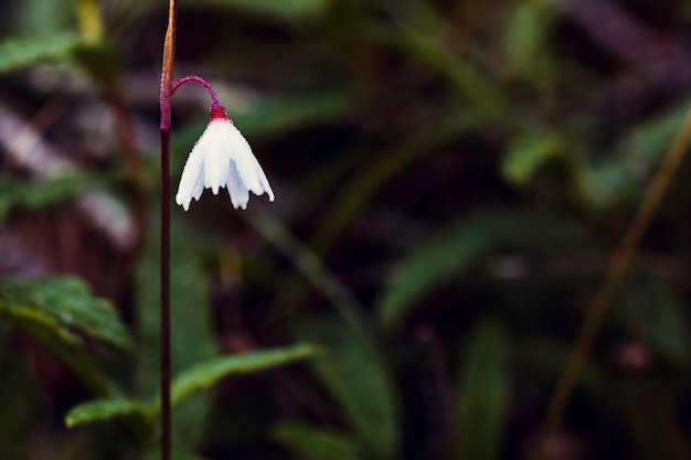 Acis autumnalis with water drops by morning dew