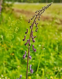 Aconitum lycoctonum-ヨーロッパと北アジアの多くに自生するキンポウゲ科のトリカブト属の顕花植物のトリカブト種