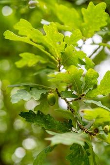 오크 나무에 도토리, 녹색 패턴 배경 선택적 초점을 닫습니다 프리미엄 사진