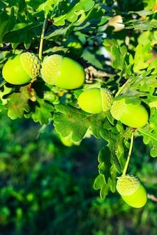 참나무 너트 나무에 매달려 도토리 과일