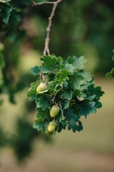 Ghiande su una quercia con il colpo fresco del primo piano delle foglie