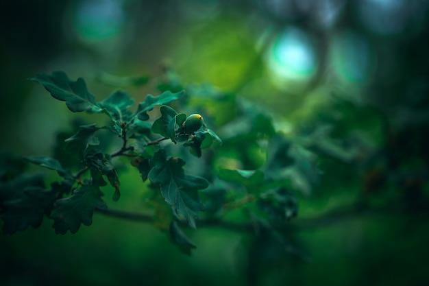 Желуди на зеленом дубовом естественном фоне