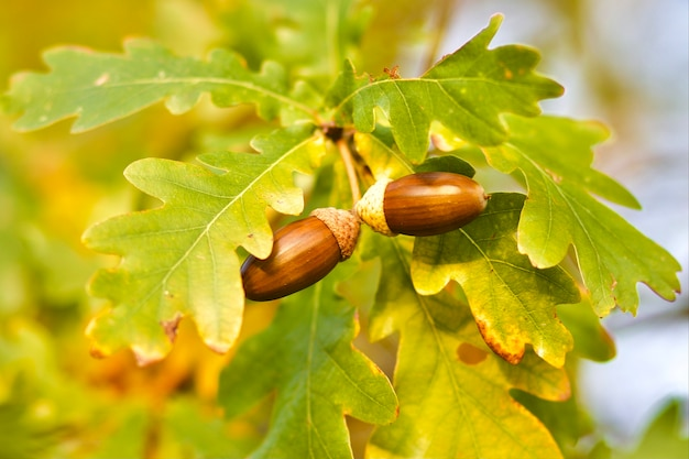 Желуди на дубовой ветке в осеннем солнечном парке