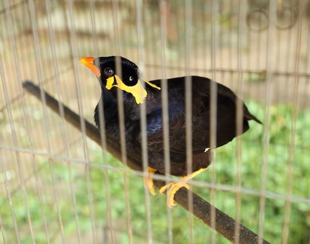 一般的なミナの鳥(acridotheres tristis)