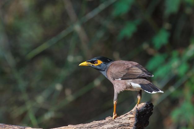 共通のミナの鳥(acridotheres tristis)は、木に