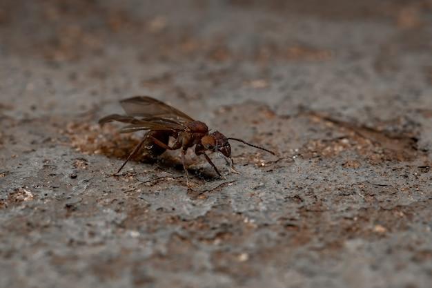 Acromyrmex leaf-cutter ant of the genus acromyrmex