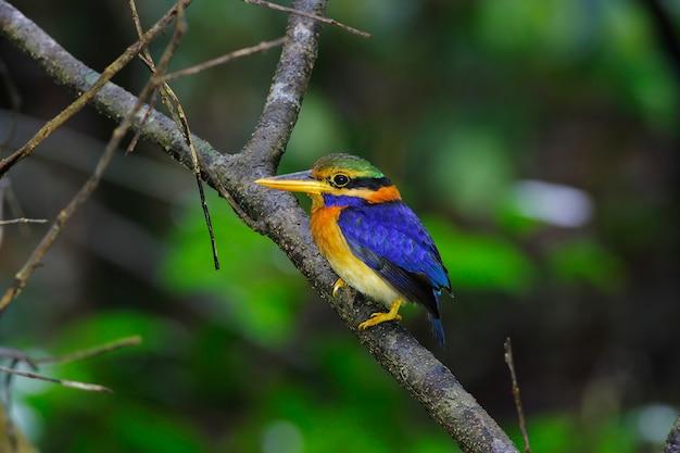 ラフ襟カワセミactenoides concretusタイの美しい男性の鳥