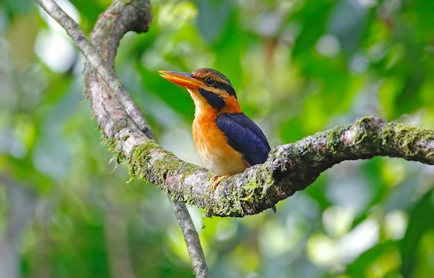 ラフ襟付きカワセミactenoides concretusタイの美しい男性の鳥