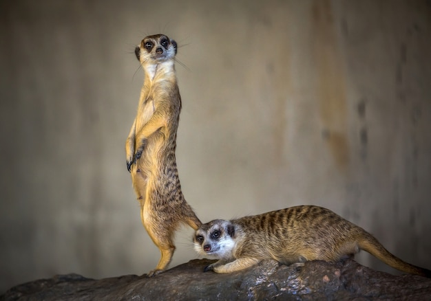 The action of the beautiful meerkat is on the alert.