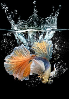 Action betta with splash water
