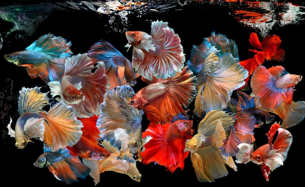 Action of many beautiful bettas