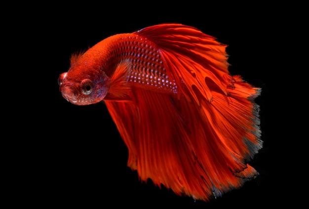 플래시 스튜디오 조명에서 레드 하프 문 긴 꼬리 베타 물고기 또는 샴 싸우는 물고기 사진의 동작.
