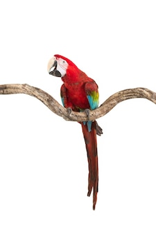 Action of scarlet macaw birds on branch of tree