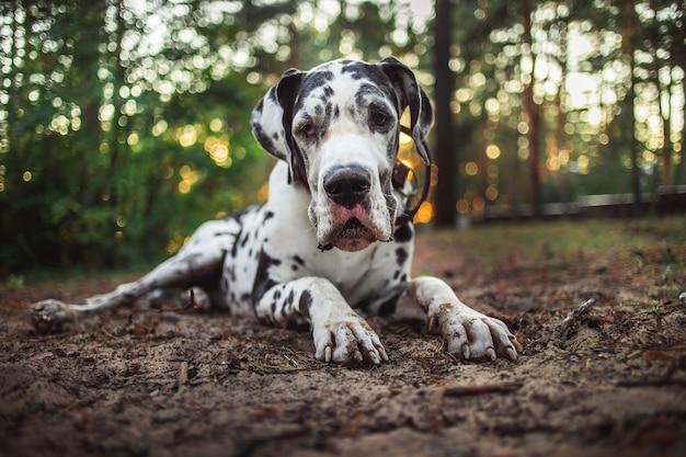 Активная очаровательная далматинская собака отдыхает на грязной лужайке в лесу в яркий день
