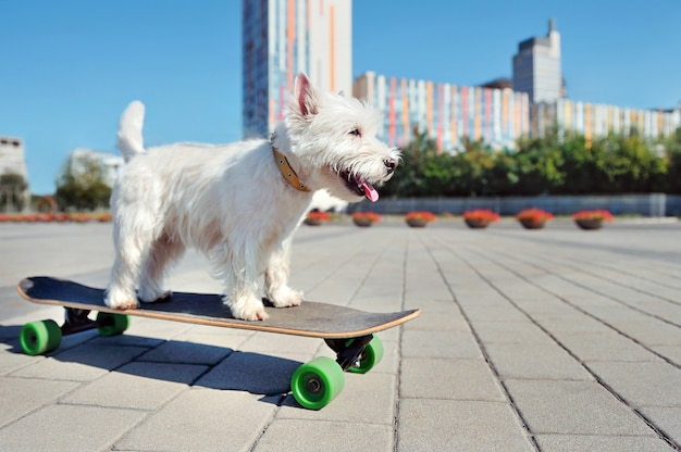 Active funny west highland terrier on the long board in the city