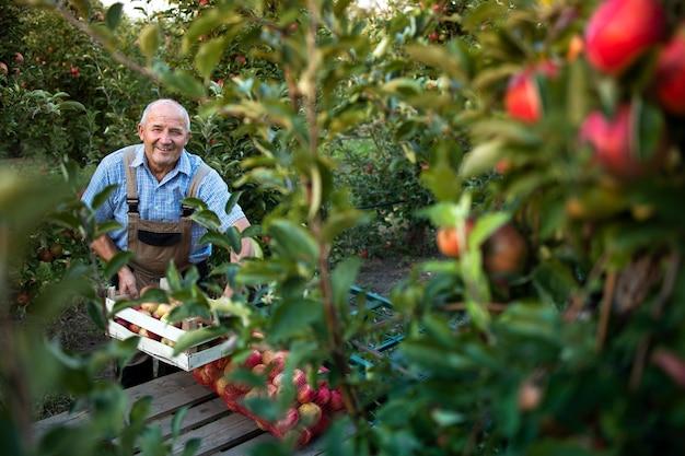 Coltivatore senior attivo che organizza frutta mela appena raccolta nel frutteto