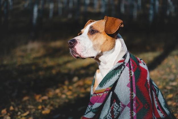 秋の森でのハイキング犬のヒーローショット。アステカのポンチョのスタッフォードシャーテリア犬は白activeの木、アクティブな休息の概念の中で座っています。