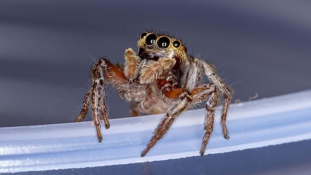 Adanson's house jumping spider of the species hasarius adansoni