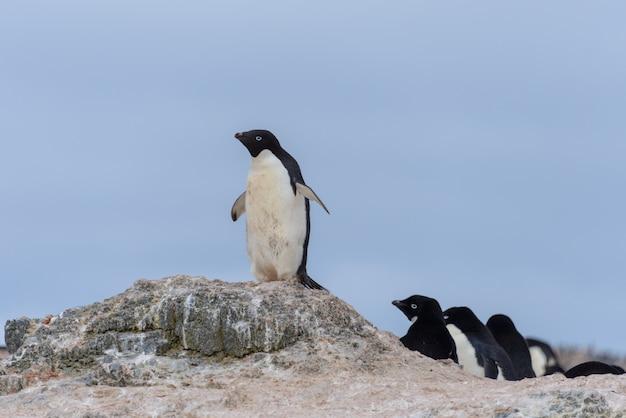 南極のビーチに行くアデリーペンギン