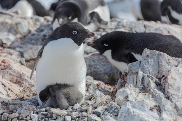 ひよこと巣のアデリーペンギン