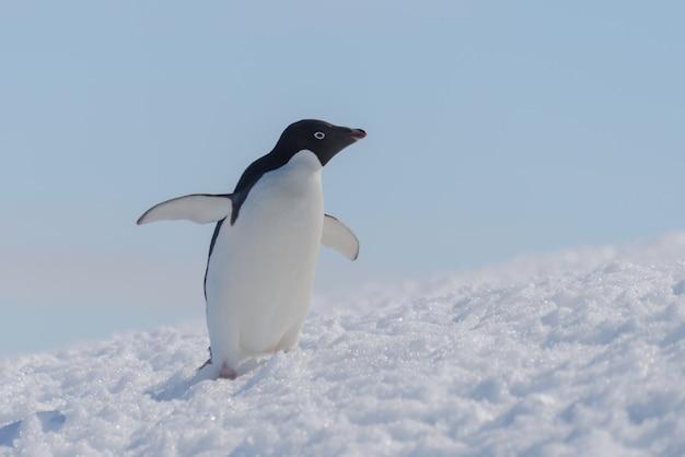 Пингвин адели на пляже