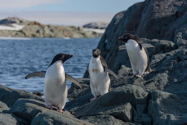 Пингвины адели на пляже