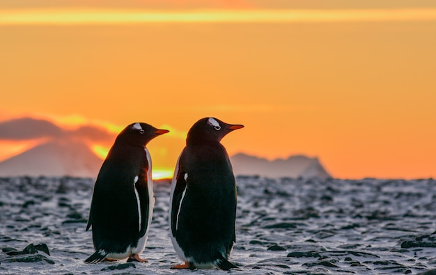 Adelie penguins standing at sunrise.