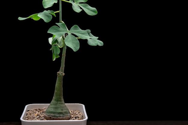 Adenia glauca plant background.