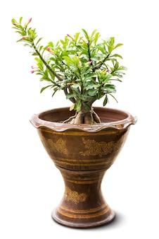 Adenium houseplant for decoration in pot