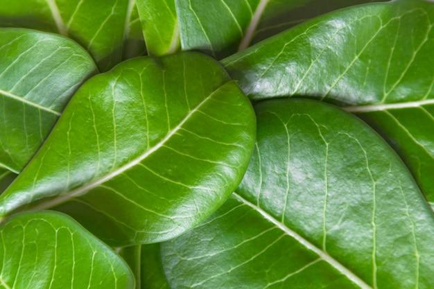 Adenium leaves layout