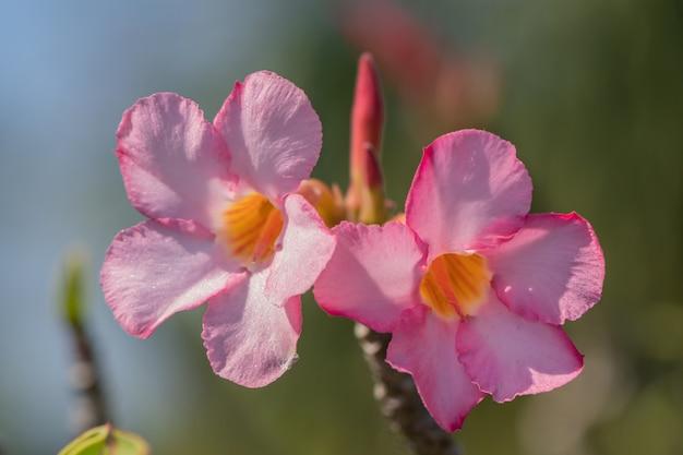 Цветок adenium obesum селективного фокуса розовый и белый в саде. общие названия включают фиктивную азалию, лилию импалы и розу пустыни.