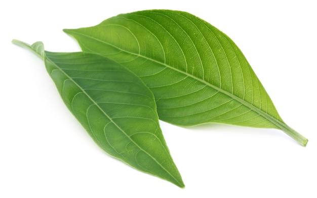 흰색 배경 위에 adhatoda vasica 또는 약용 basak 잎