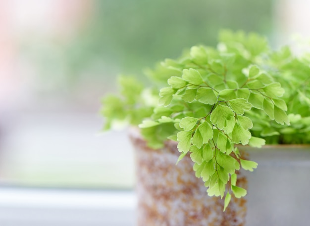 Adiantum philippense or maidenhair fern growing in a pot on the windowsill