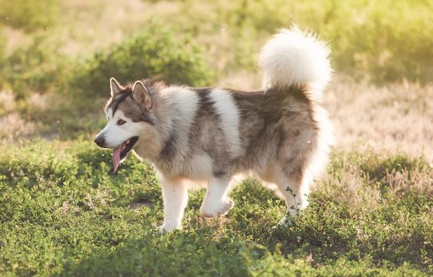 夏の草原に座っているadoarble犬