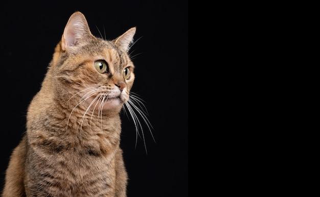 Прелестный взрослый кот позирует на черном фоне и смотрит на фронт.