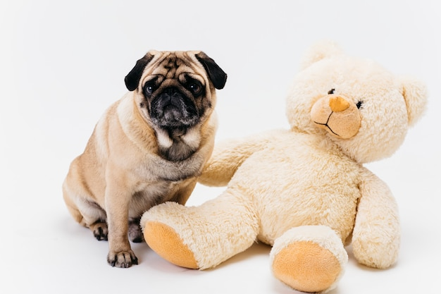 Adorable adult pug and big teddy bear plush toy