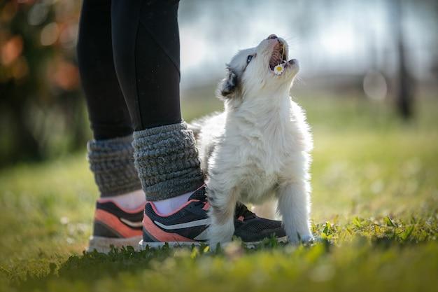 Очаровательная австралийская овчарка в траве на улице