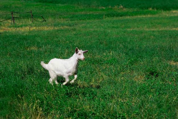牧草地でジャンプかわいい赤ちゃんヤギ